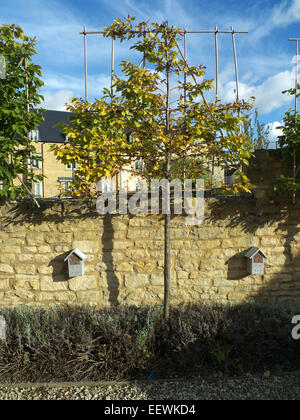 Pleached lime and insect boxes on stone garden wall, Cotswolds, Gloucerstershire, UK - Stock Photo