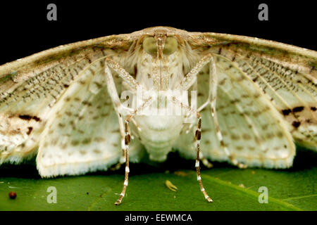 The Crambidae are the grass moth family of Lepidoptera (butterflies and moths). - Stock Photo
