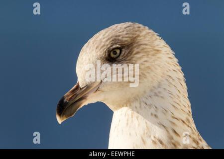Yellow-legged Gull. (Larus michahellis) Lisbon Portugal. - Stock Photo