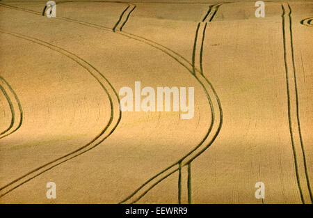 Lines made by tractor in a ripe wheat field in summer - Stock Photo
