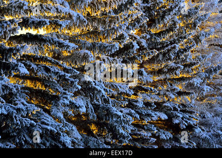 Spruce tree branches covered with hoar frost with the rising sun giving a warm glow to the open spaces - Stock Photo