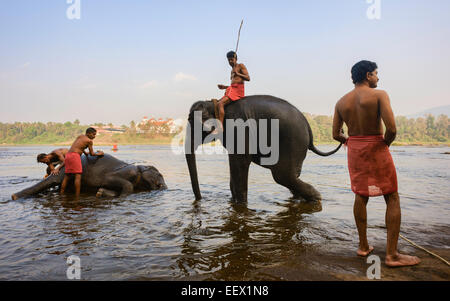 Trainers bathe young elephants at dawn in the river Periyar, a major river in Kerala, - Stock Photo