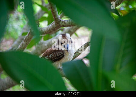 Laughing kookaburra (Dacelo novaeguineae) perched in tree, Queensland, Australia - Stock Photo