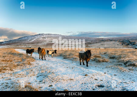 Dartmoor ponies in the snow with Staple Tor in the background - Stock Photo