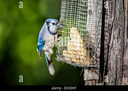 Blue Jay perched on tree mounted suet feeder. - Stock Photo