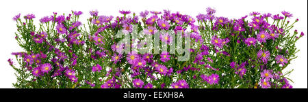 Violet autumn mini chrysanthemums flowers big line border. Isolated collage - Stock Photo