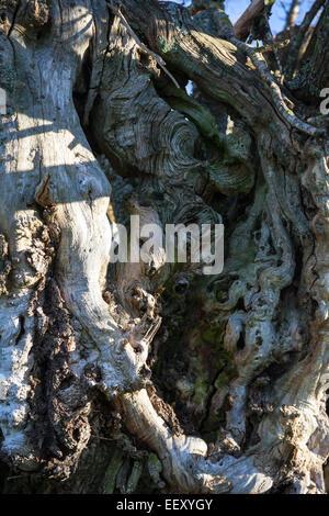 Bark of old sweet chestnut tree Castanea sativa - Stock Photo