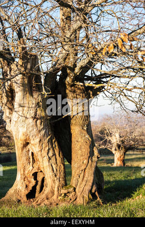 Sweet chestnut tree Castanea sativa - Stock Photo