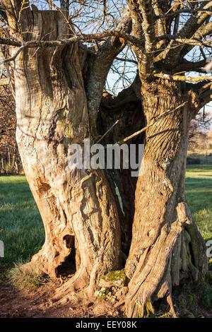 Sweet chestnut tree Castanea sativa - Stock Photo