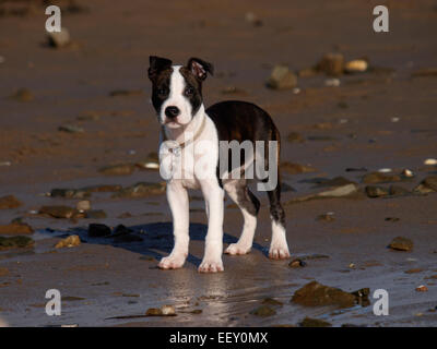 Cute puppy at the beach, probably a Staffordshire Bull Terrier cross, UK - Stock Photo
