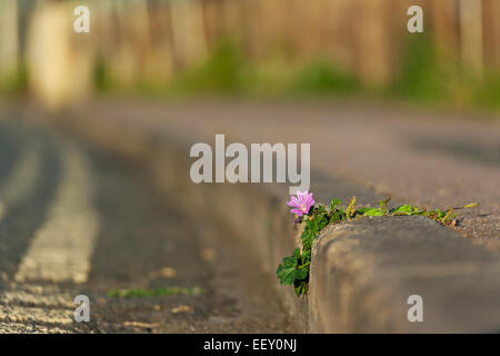 A mallow flower by a side of the road - Stock Photo