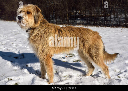 Mixed breed scruffy pet dog standing in a snowy Toronto park in winter - Stock Photo