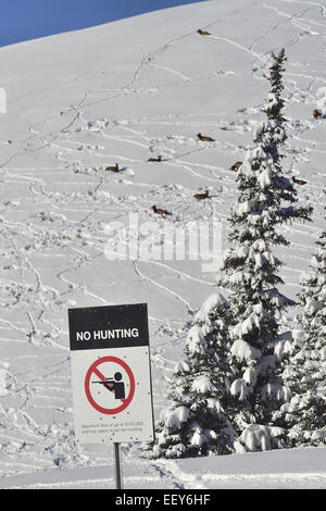 A no hunting sign with a herd of wild elk bedded down on a hillside behind it - Stock Photo
