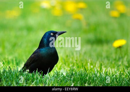 Bird on grass (Common Grackle ) isolated close up portrait - Stock Photo