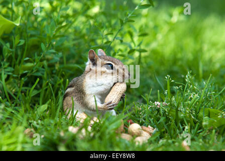 Eastern chipmunk close up in grass eating peanuts. - Stock Photo