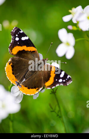 Butterfly on flower (Red Admiral) close up. - Stock Photo
