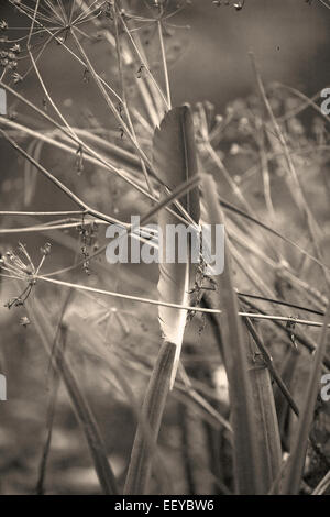 Monochrome image of a feather caught in dried cow parsley seed heads, Gwent - Stock Photo