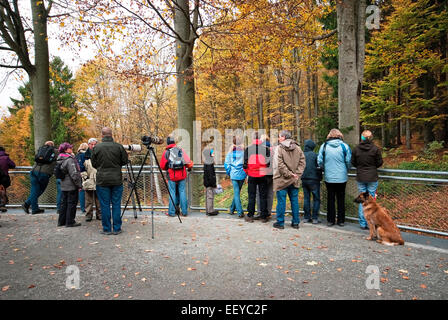 Visitors and nature photographers watching in wolf area, Bavarian Forest National Park,  Bayerischer Wald, Bavaria, - Stock Photo