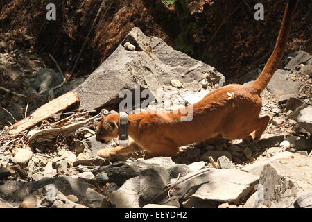 A Mountain Lion (also called Puma or Cougar) wearing a radio-tracking collar and running with her tail up. - Stock Photo
