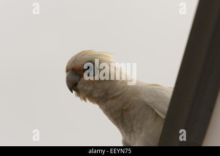 A photograph of a little corella. The photograph was taken in northern NSW, Australia. - Stock Photo