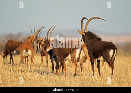 Small herd of sable antelopes (Hippotragus niger), South Africa - Stock Photo