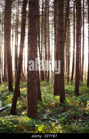 Evening sunlight shining through a Forestry Commission pine forest in County Durham. - Stock Photo