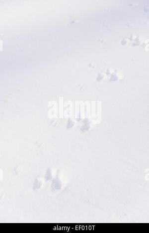 Animal tracks in winter snow, Dumfries & Galloway, Scotland - Stock Photo