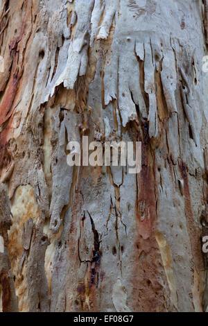 Eucalyptus bark New South Wales Australia - Stock Photo