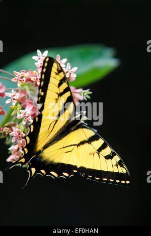 Eastern tiger swallowtail butterfly feeding on milkweed flower. - Stock Photo