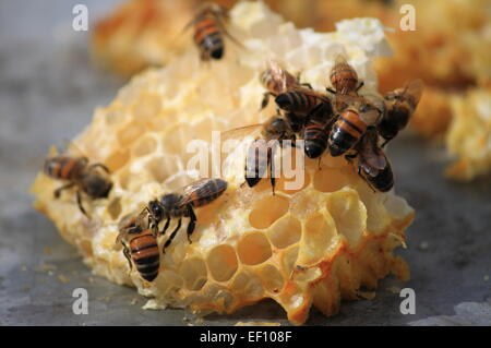 Close up view of bees working on honey cells - Stock Photo