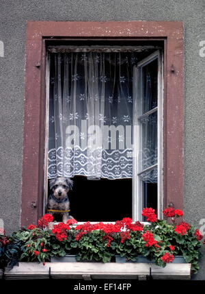 A cute inquisitive dog with a restraining leash around his body looks out an open window past flower boxes with - Stock Photo