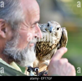 Falconer with  Saker Falcon Kasandra in Falkenhof Harz.Germany. - Stock Photo