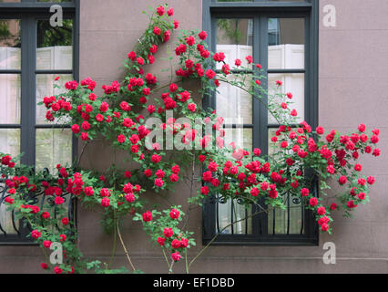 Red roses growing on the side of a brownstone building in New York City - Stock Photo