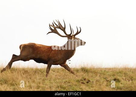 male cervus elaphus on the run ( European red deer buck ) - Stock Photo