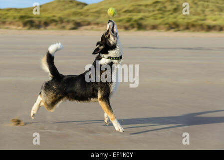 Border collie dog with tennis ball on Seahouses beach, Northumberland, England - Stock Photo