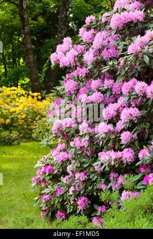 Rhododendron Bushes in Summer Garden - Stock Photo