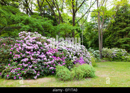 Pink rhododendron Bushes in Summer Garden - Stock Photo