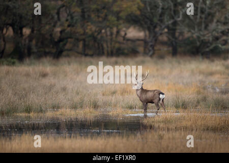 Morning Sika stag - Stock Photo