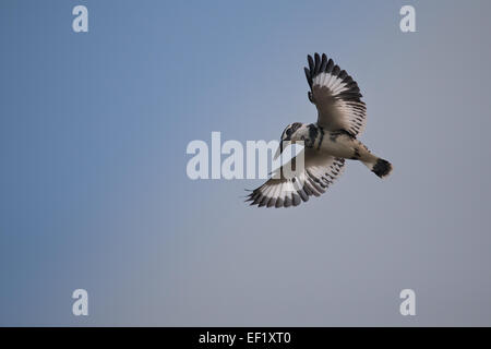 Pied Kingfisher hovering - Stock Photo