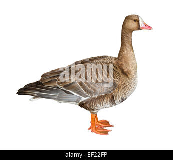 White-Fronted Goose isolated on white background with clipping path - Stock Photo