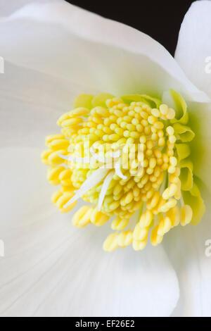 Close up of Helleborus Gold Collection 'HGC Joel' - Stock Photo