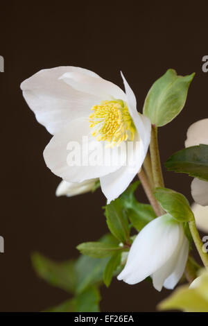 Close up of Helleborus Gold Collection 'HGC Joel' against a black background - Stock Photo