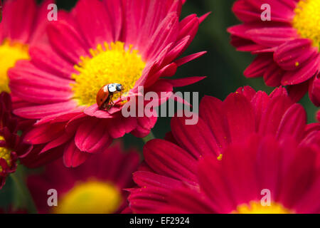Ladybug crawling on red chrysanthemum flowers in fall garden. - Stock Photo