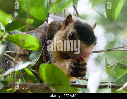 A grizzled giant squirrel, also known as a monkey squirrel, eats fruit in a tree at Yala, the nature reserve in - Stock Photo