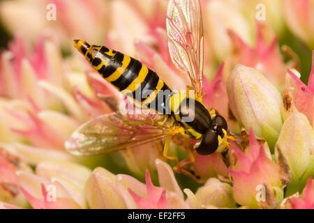 A female of the UK hoverfly, Sphaerophoria scripta, feeding on Sedum flowers - Stock Photo