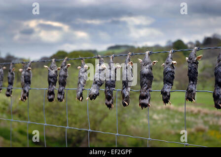 Moles on a barbed wire fence, Northumberland - Stock Photo