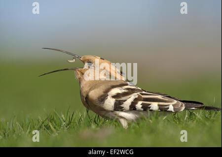 Hoopoe with prey.