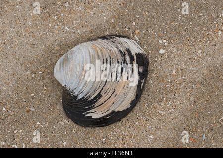 Ocean quahog, Icelandic cyprine, mahogany clam, black clam, Islandmuschel, Piepmuschel, Arctica islandica, Cyprina - Stock Photo