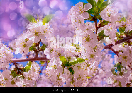 Pink cherry blossoms in garden outdoors close up.