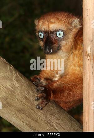 Female Madagascan Blue eyed black Lemur or Sclater's Lemur (Eulemur flavifrons), close-up of the head (captive animal) - Stock Photo